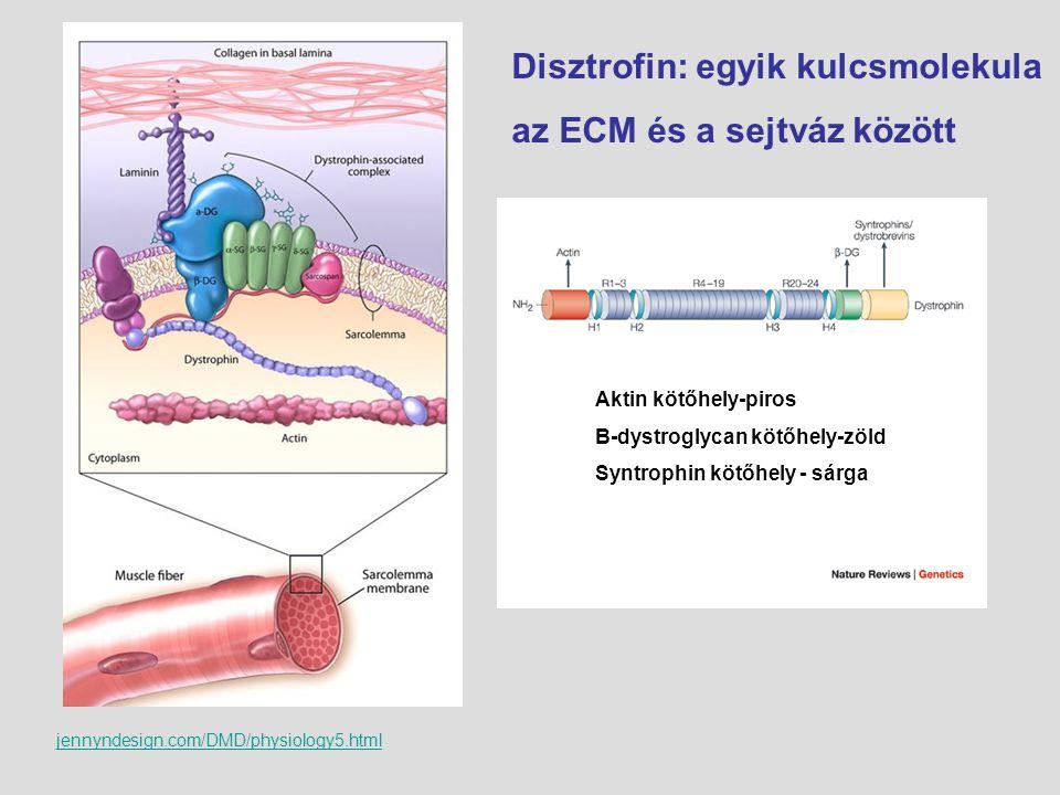 Disztrofin: egyik kulcsmolekula az ECM és a sejtváz között