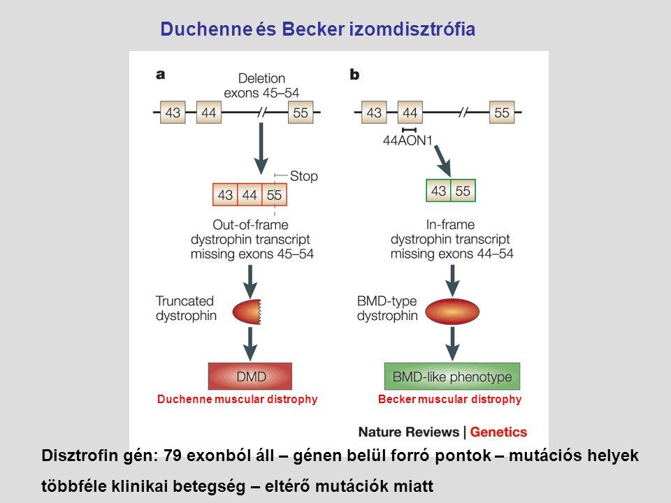Duchenne és Becker izomdisztrófia