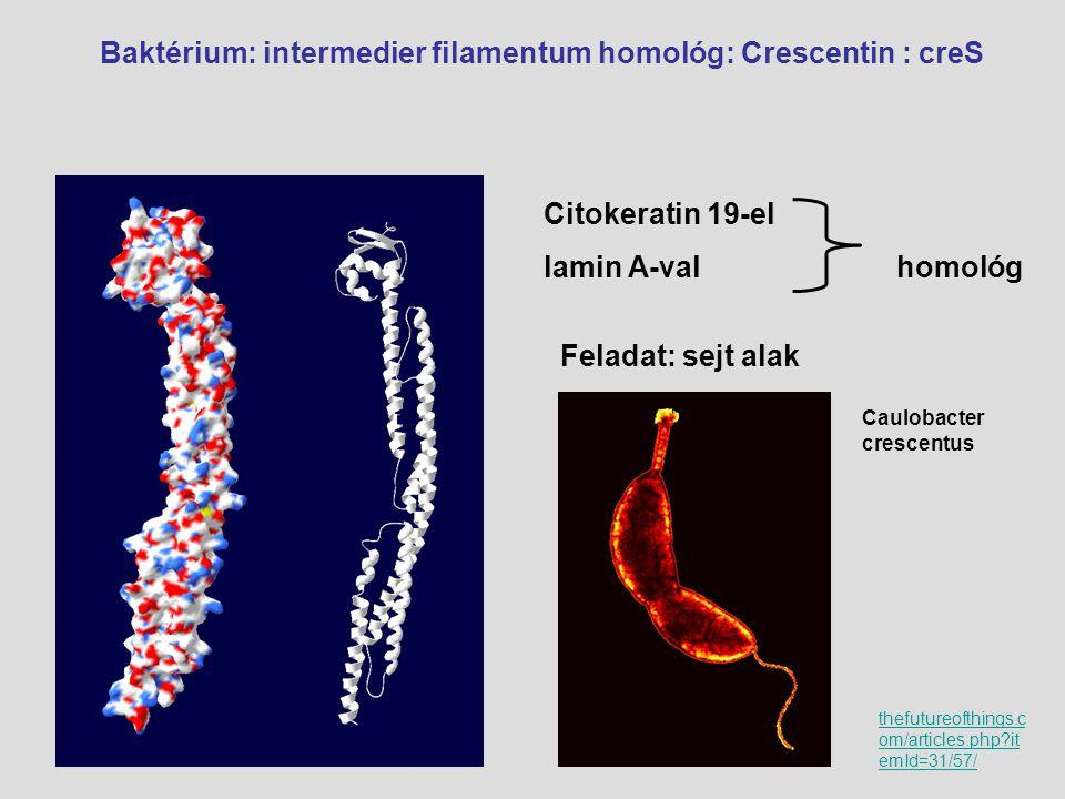 Baktérium: intermedier filamentum homológ: Crescentin : creS