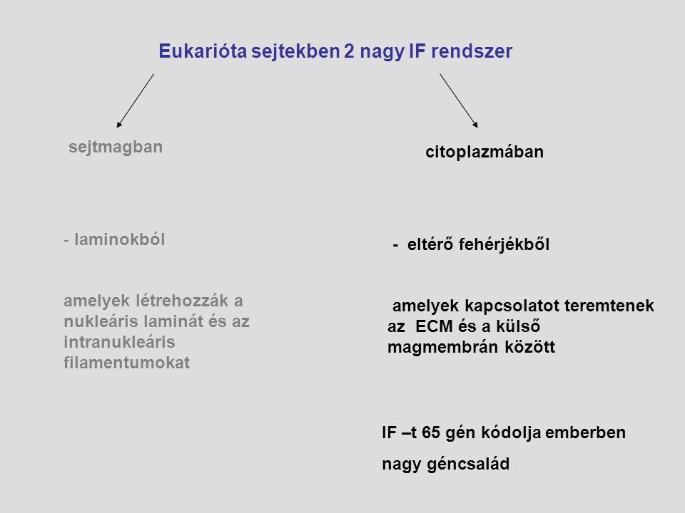 Eukarióta sejtekben 2 nagy IF rendszer