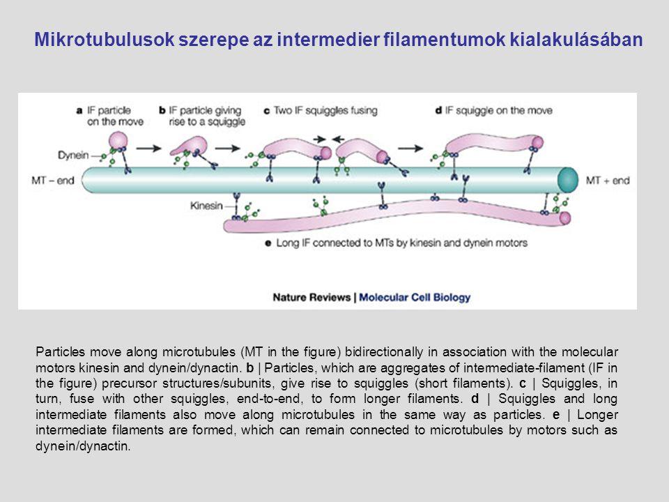 Mikrotubulusok szerepe az intermedier filamentumok kialakulásában