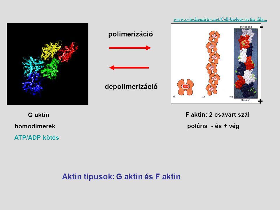 Aktin típusok: G aktin és F aktin