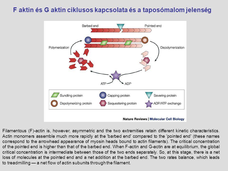 F aktin és G aktin ciklusos kapcsolata és a taposómalom jelenség