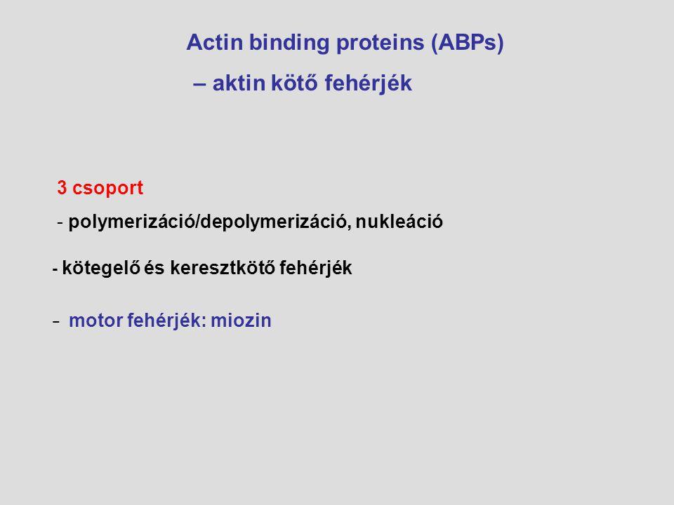 Actin binding proteins (ABPs) – aktin kötő fehérjék