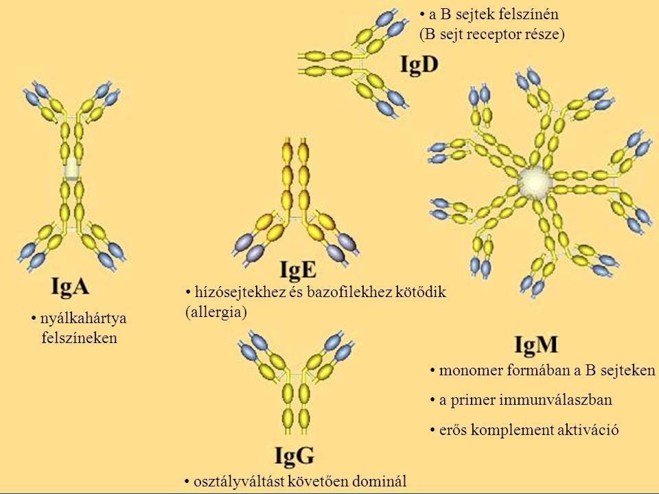 a B sejtek felszínén (B sejt receptor része)