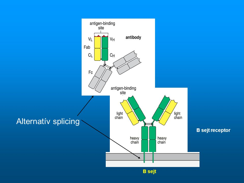 Alternatív splicing B sejt receptor B sejt