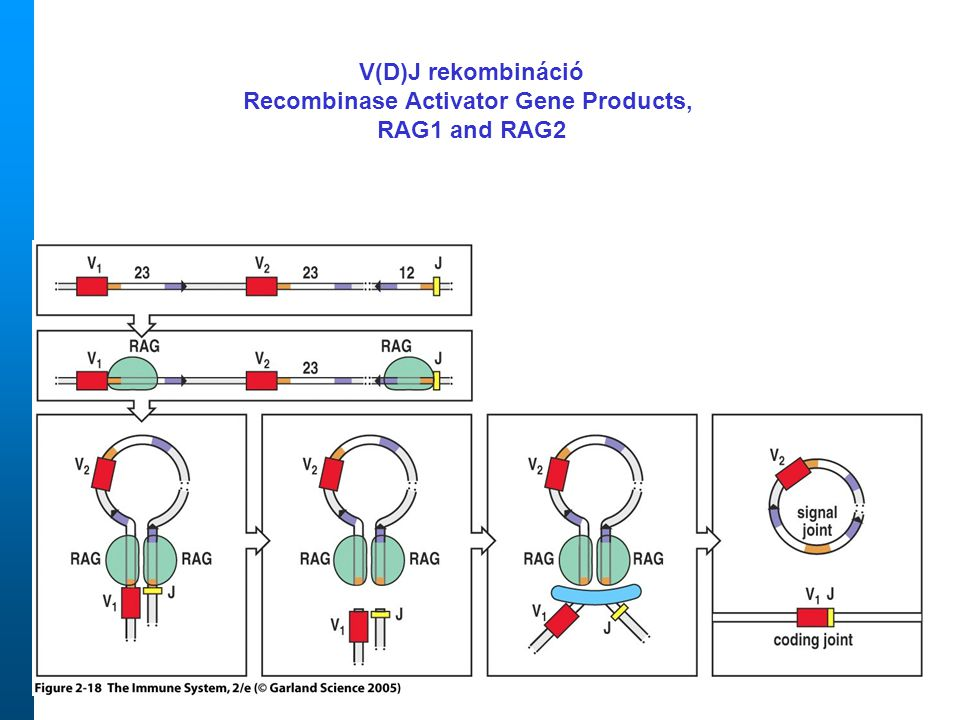 Recombinase Activator Gene Products,