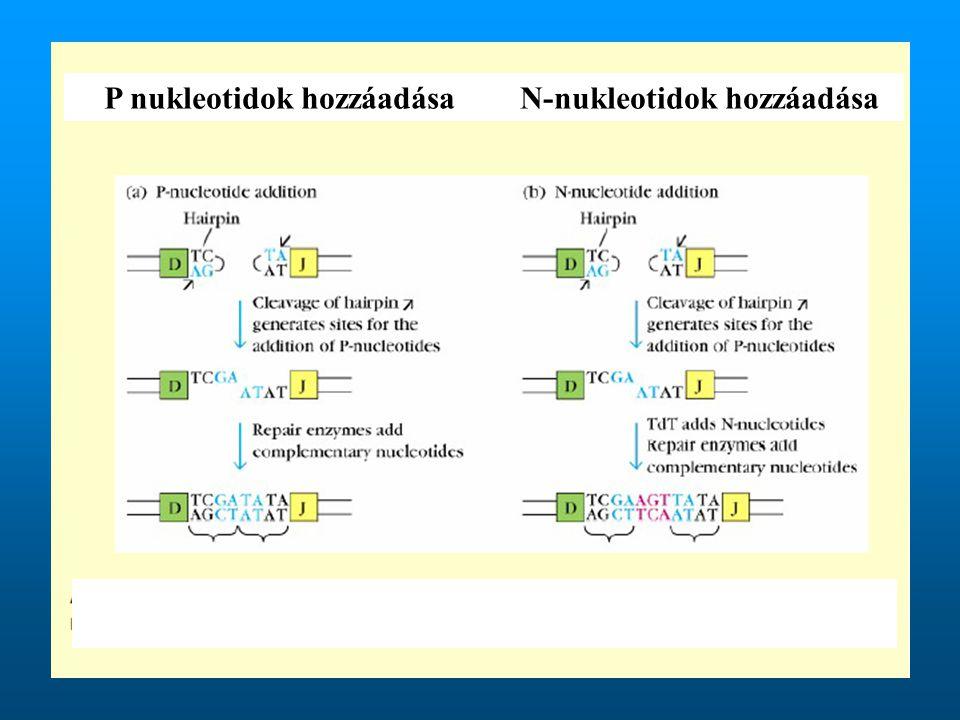 P nukleotidok hozzáadása N-nukleotidok hozzáadása