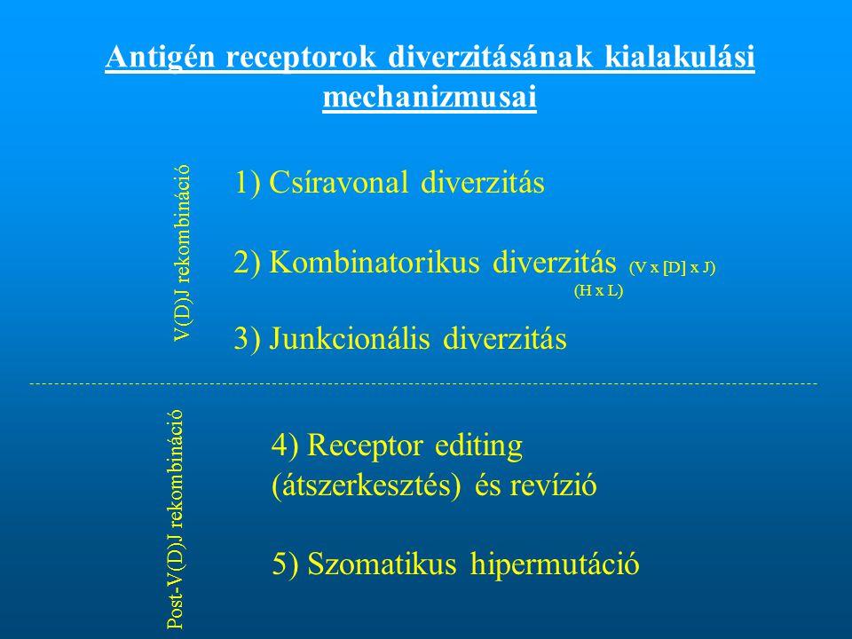Antigén receptorok diverzitásának kialakulási mechanizmusai
