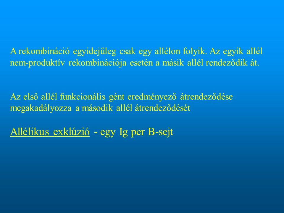 Allélikus exklúzió - egy Ig per B-sejt