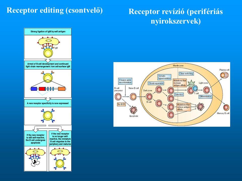 Receptor editing (csontvelő)