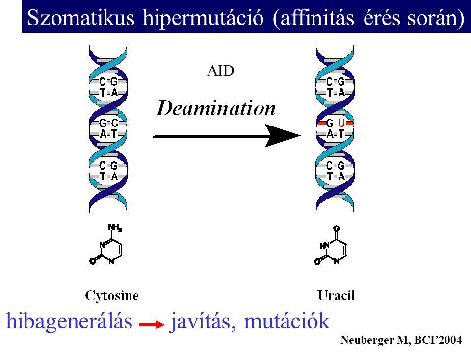 Szomatikus hipermutáció (affinitás érés során)