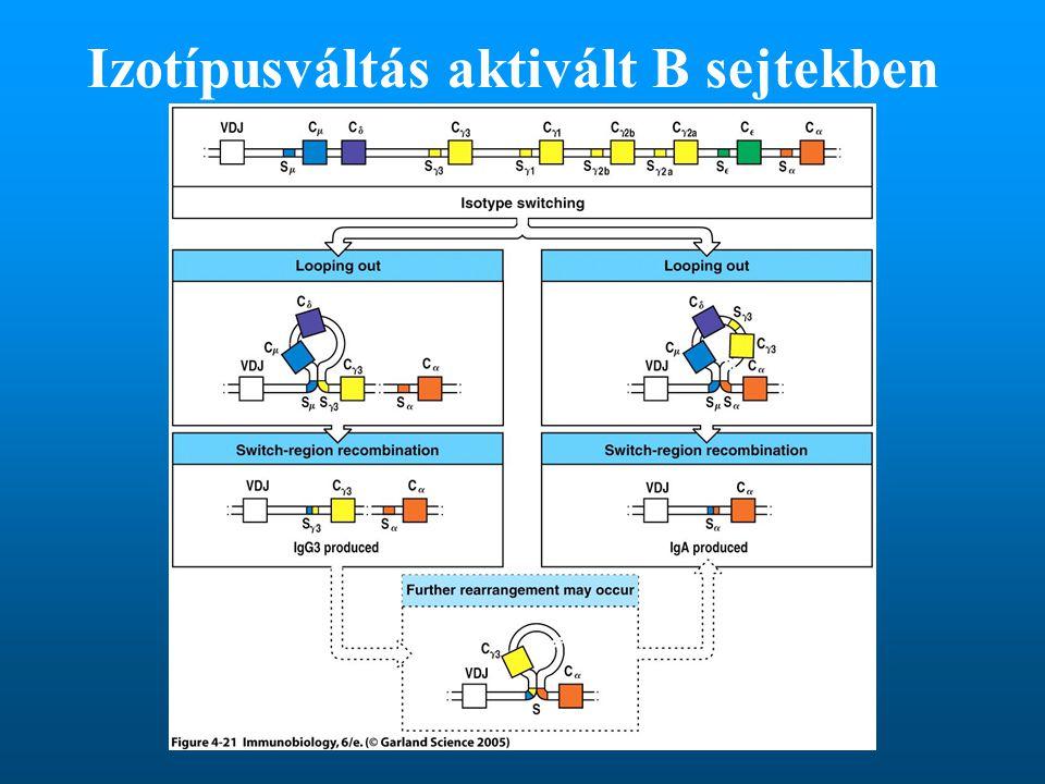 Izotípusváltás aktivált B sejtekben