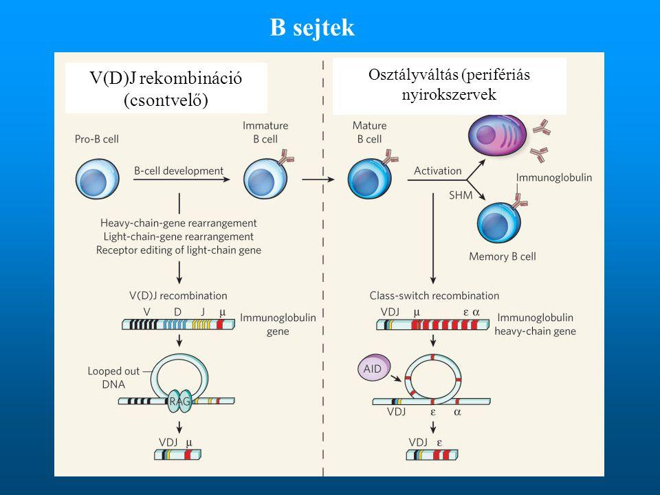 B sejtek V(D)J rekombináció (csontvelő)