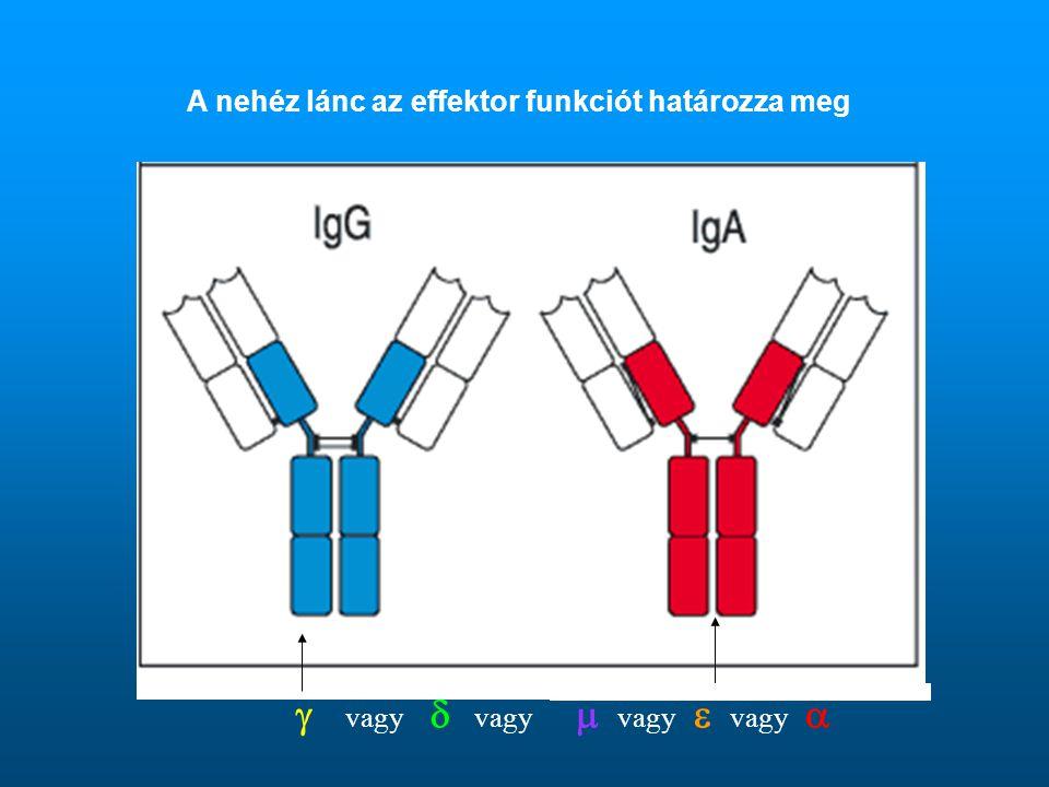 A nehéz lánc az effektor funkciót határozza meg