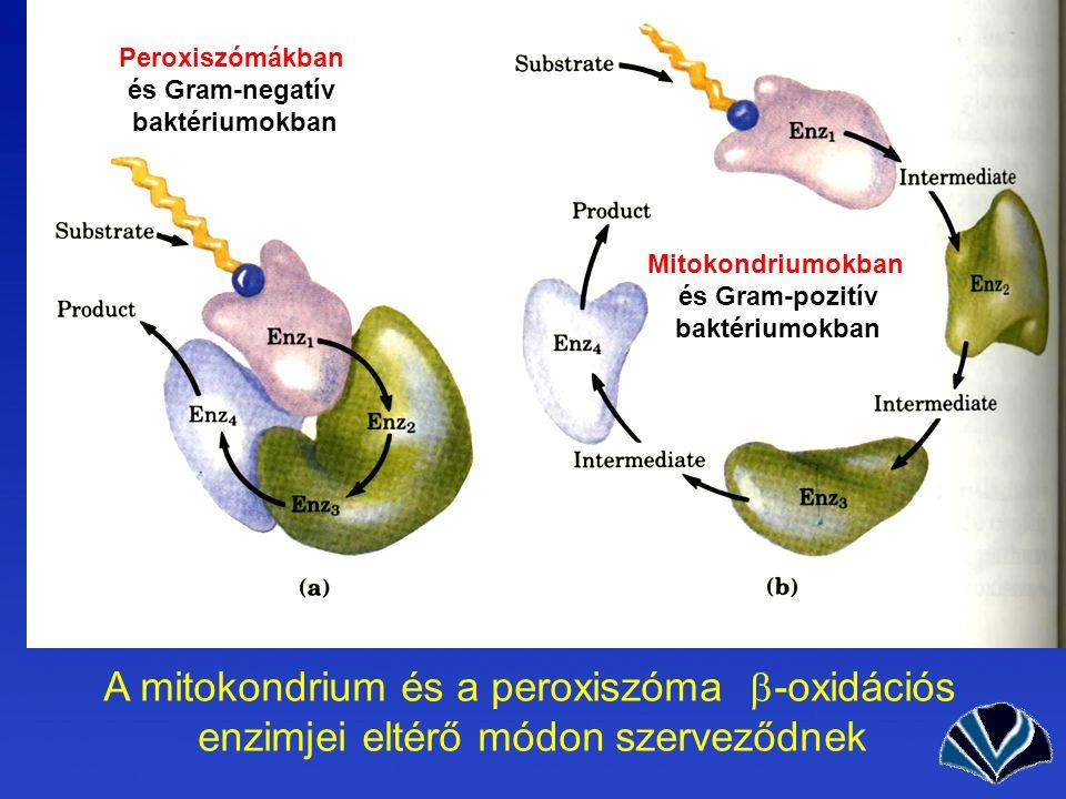 A mitokondrium és a peroxiszóma -oxidációs