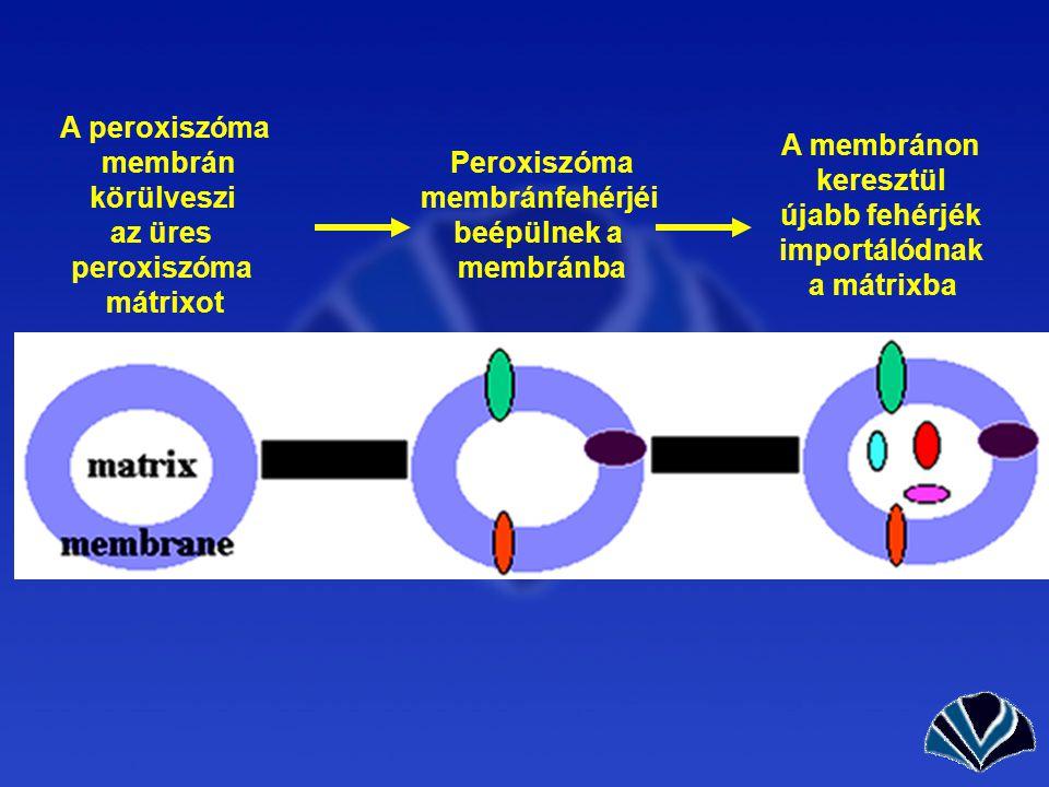 A peroxiszóma membrán. körülveszi. az üres. peroxiszóma. mátrixot. A membránon. keresztül. újabb fehérjék.