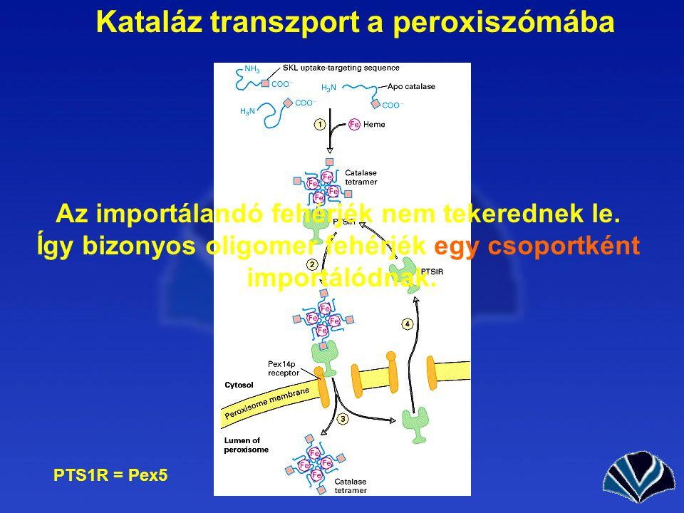 Kataláz transzport a peroxiszómába