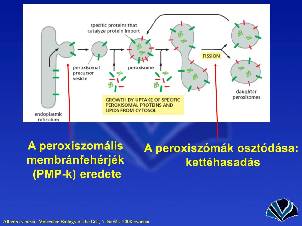 A peroxiszomális membránfehérjék A peroxiszómák osztódása: