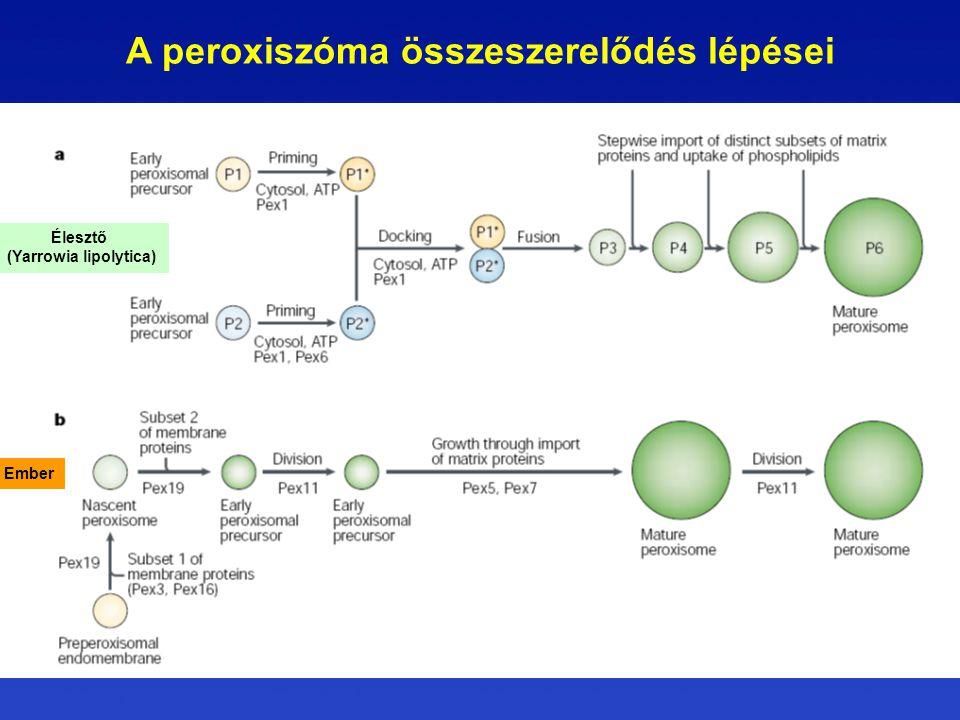 A peroxiszóma összeszerelődés lépései (Yarrowia lipolytica)