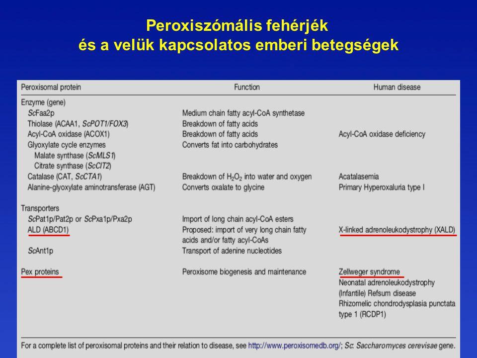 Peroxiszómális fehérjék és a velük kapcsolatos emberi betegségek
