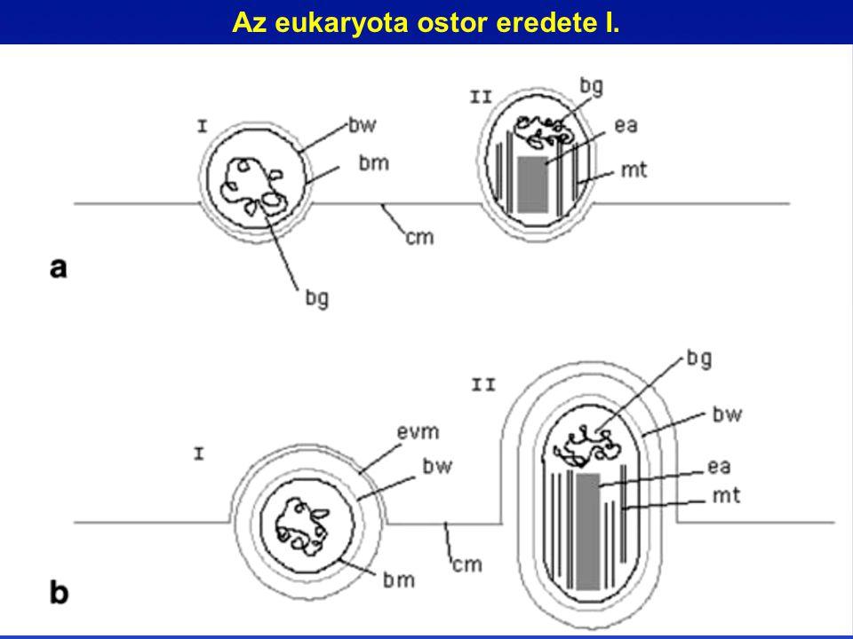 Az eukaryota ostor eredete I.