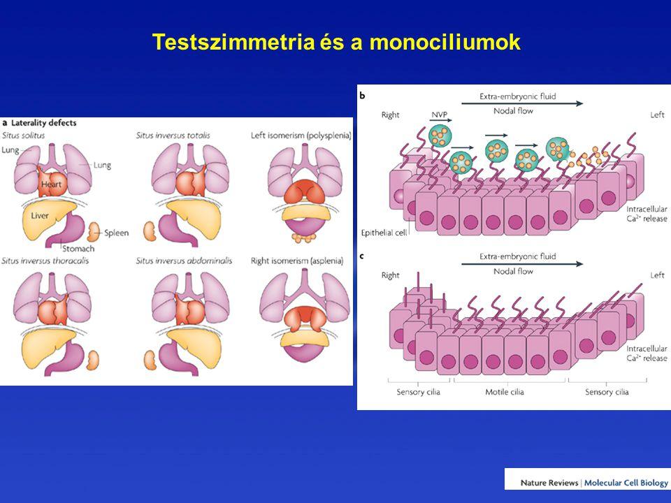 Testszimmetria és a monociliumok