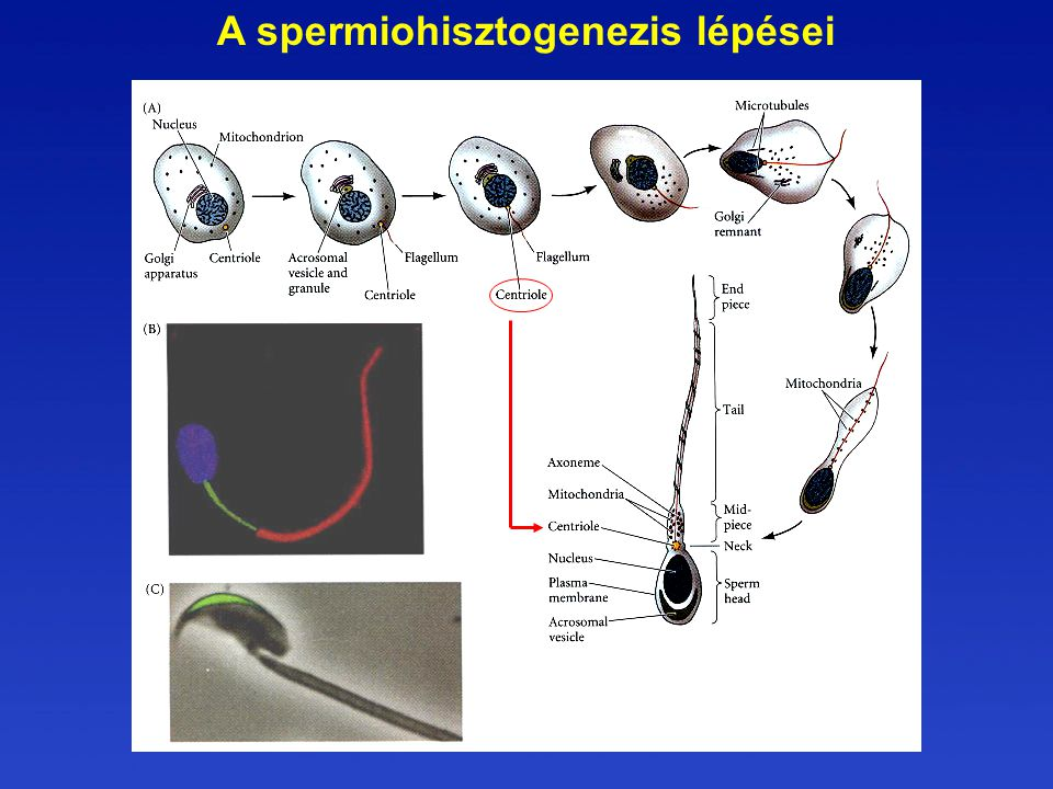 A spermiohisztogenezis lépései