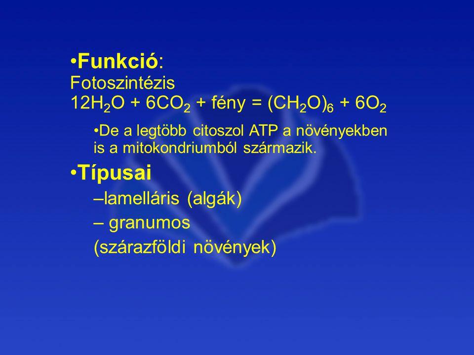Funkció: Fotoszintézis 12H2O + 6CO2 + fény = (CH2O)6 + 6O2