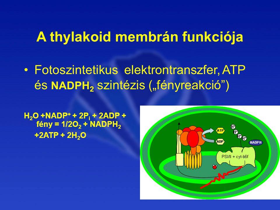 A thylakoid membrán funkciója