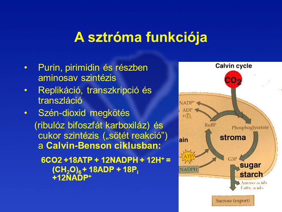 A sztróma funkciója Purin, pirimidin és részben aminosav szintézis. Replikáció, transzkripció és transzláció.