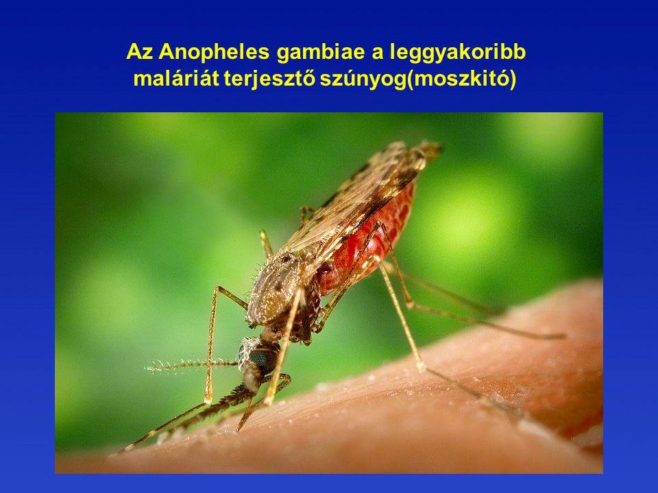 Az Anopheles gambiae a leggyakoribb