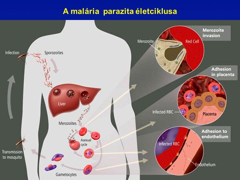 A malária parazita életciklusa