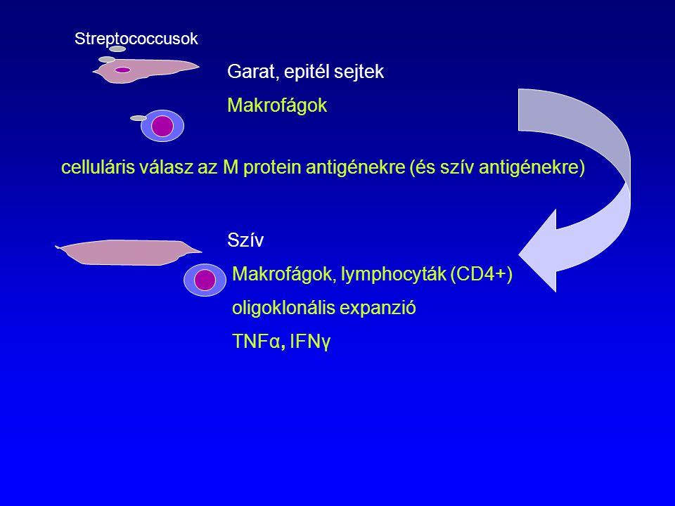 Makrofágok, lymphocyták (CD4+) oligoklonális expanzió TNFα, IFNγ