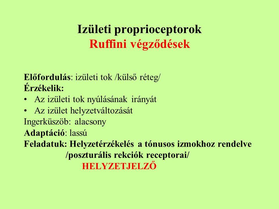 Izületi proprioceptorok Ruffini végződések