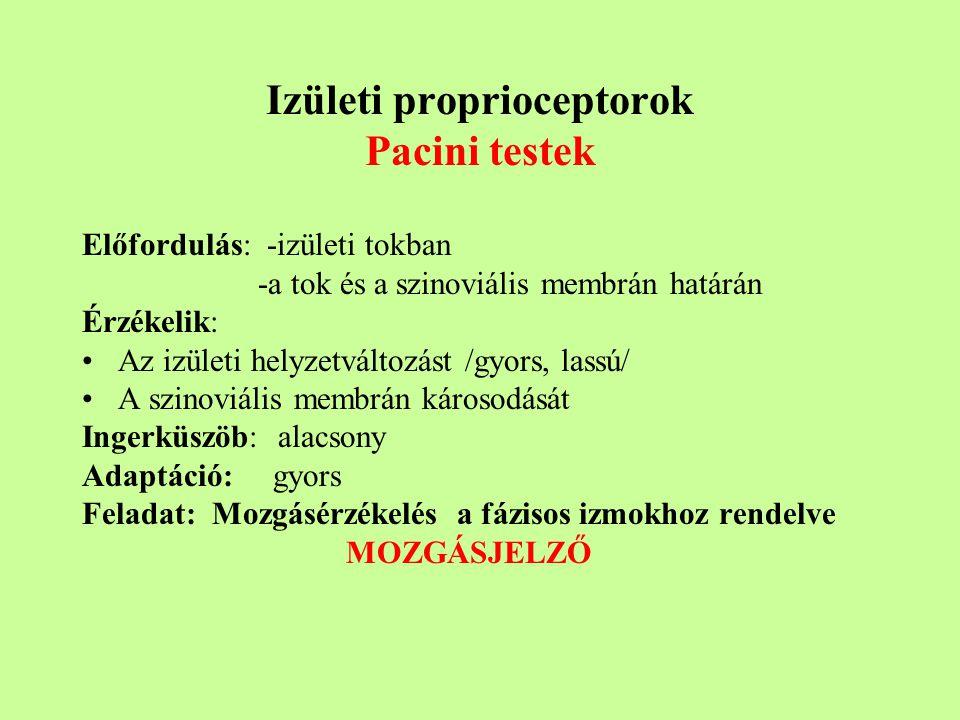 Izületi proprioceptorok Pacini testek