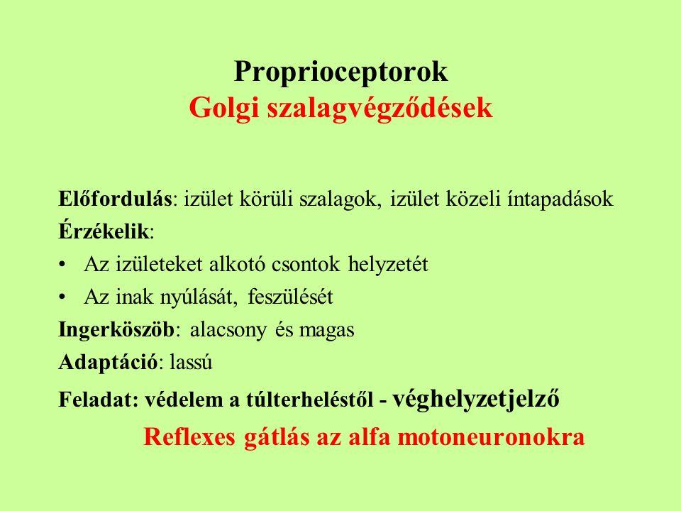 Proprioceptorok Golgi szalagvégződések