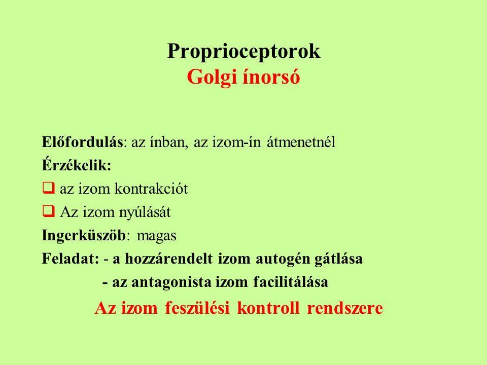Proprioceptorok Golgi ínorsó