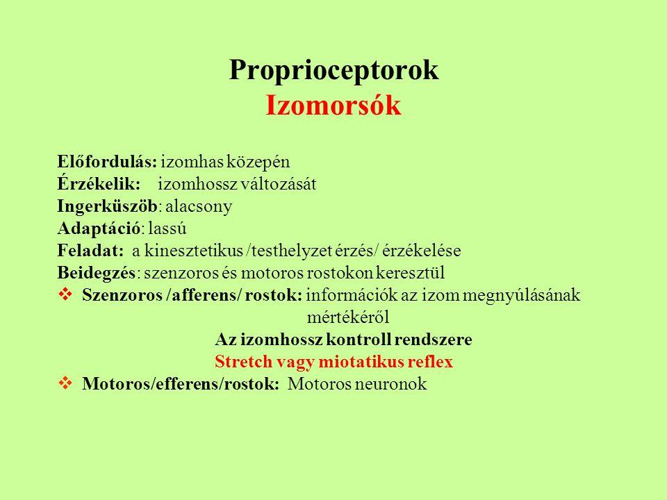 Proprioceptorok Izomorsók
