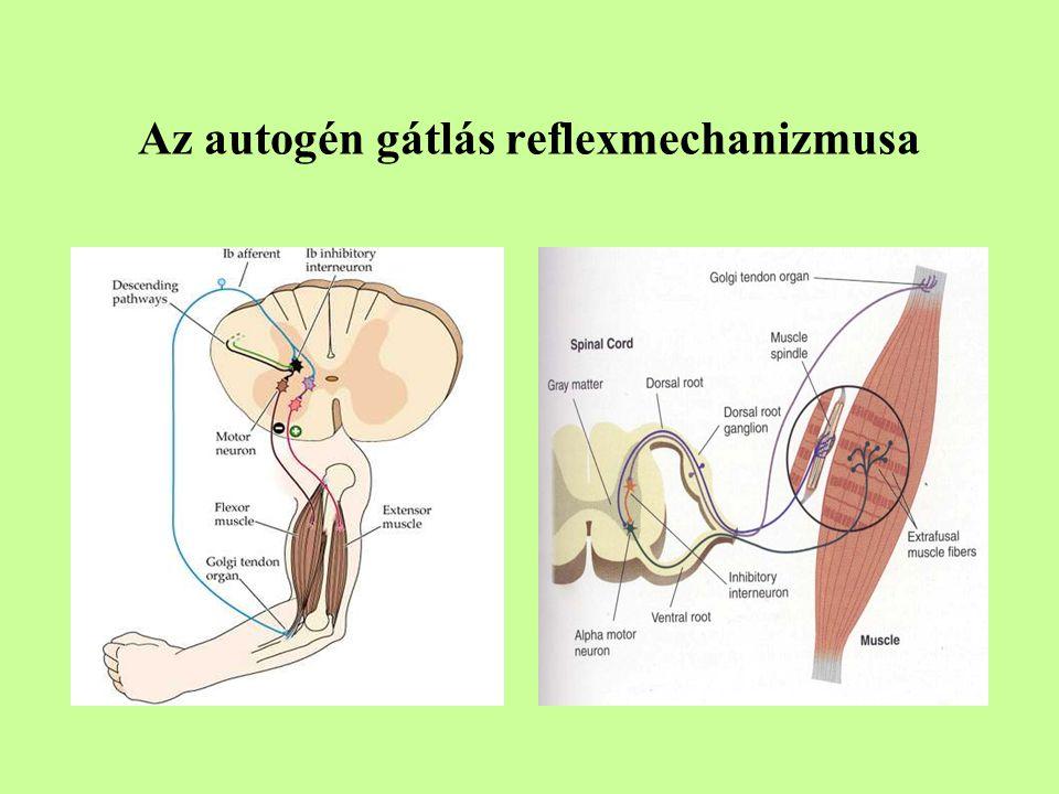 Az autogén gátlás reflexmechanizmusa