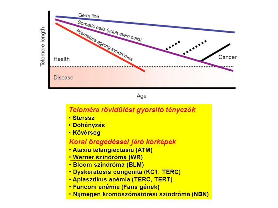 Teloméra rövidülést gyorsító tényezők