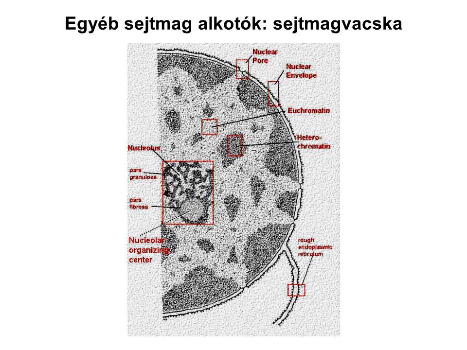 Egyéb sejtmag alkotók: sejtmagvacska