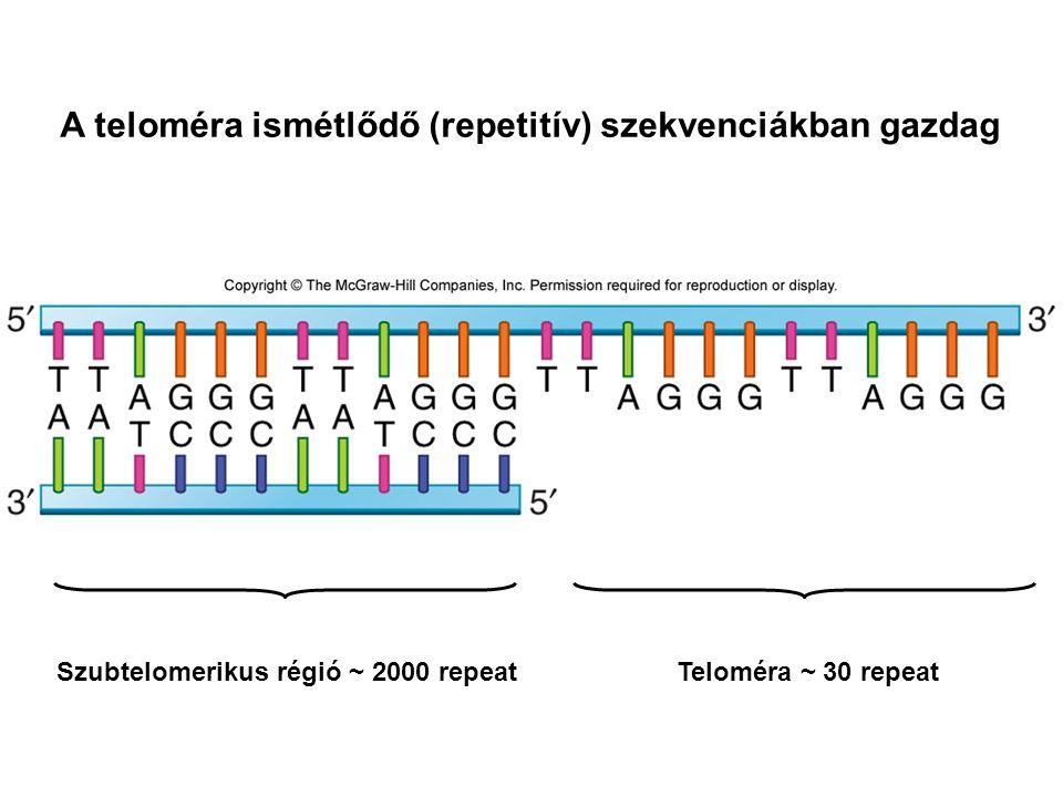 A teloméra ismétlődő (repetitív) szekvenciákban gazdag