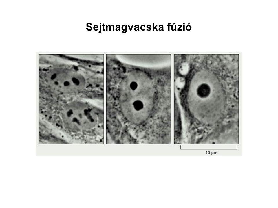 Sejtmagvacska fúzió