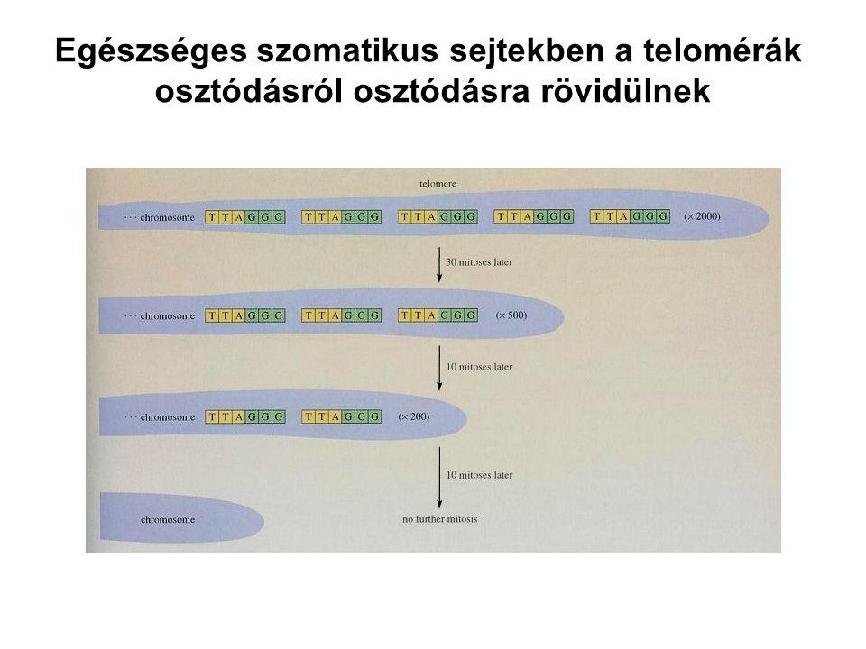 Egészséges szomatikus sejtekben a telomérák