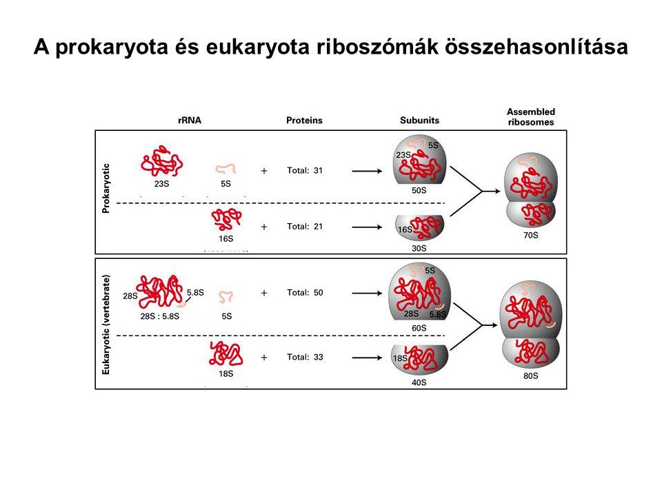A prokaryota és eukaryota riboszómák összehasonlítása