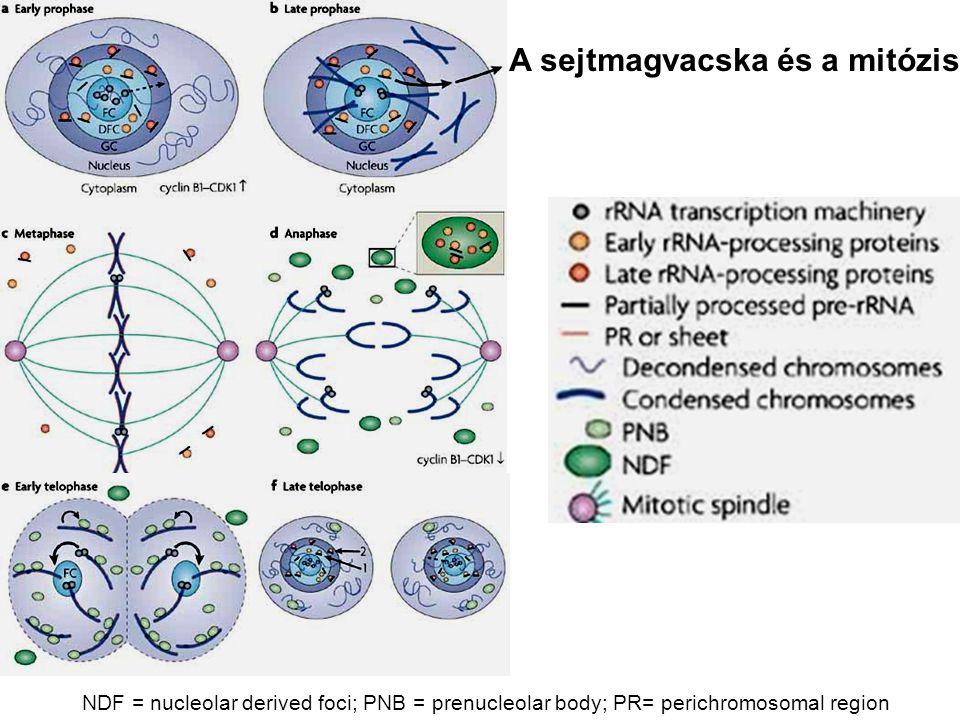 A sejtmagvacska és a mitózis