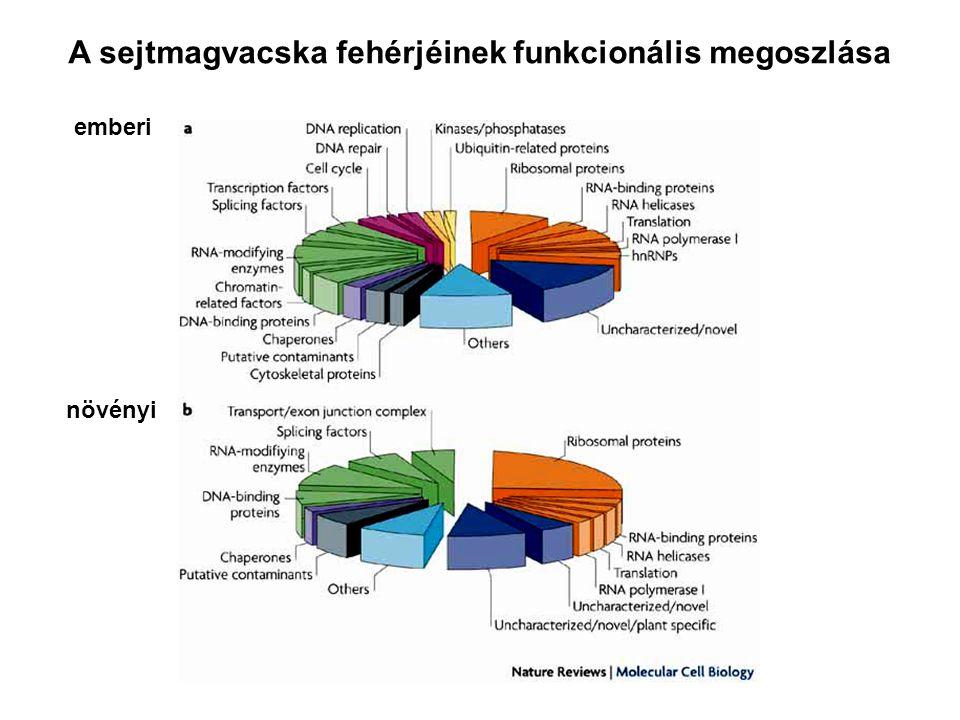 A sejtmagvacska fehérjéinek funkcionális megoszlása