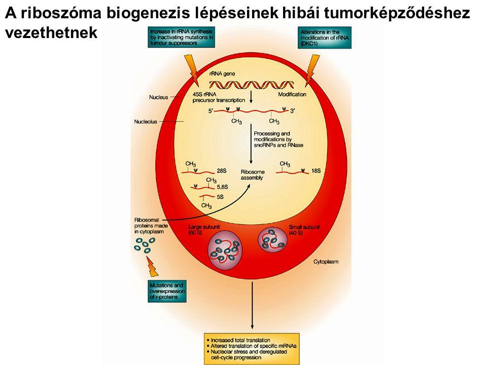 A riboszóma biogenezis lépéseinek hibái tumorképződéshez vezethetnek