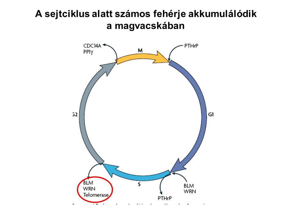 A sejtciklus alatt számos fehérje akkumulálódik